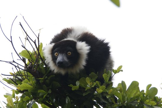 Lemurs Park : Black-and-White Ruffed Lemur