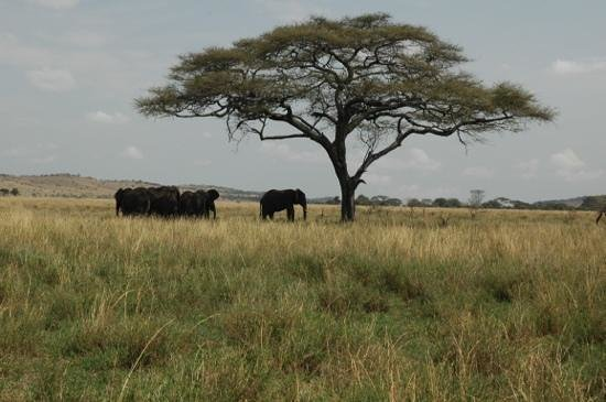 Dunia Camp, Asilia Africa: elephants in the serengeti