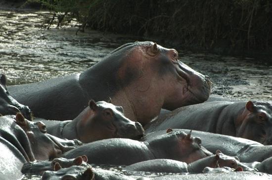 Dunia Camp, Asilia Africa: hippos!