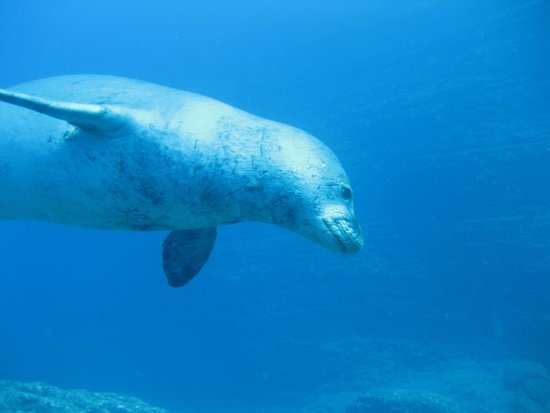Seasport Divers: monk seal