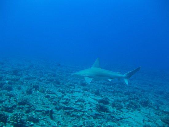 Seasport Divers: shark