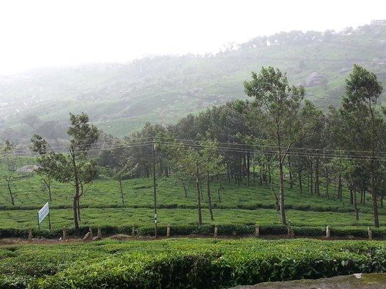Club Mahindra Munnar: Tea gardens  in front