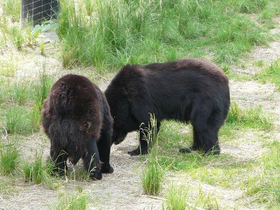 Alaska Wildlife Conservation Center: hungry bears