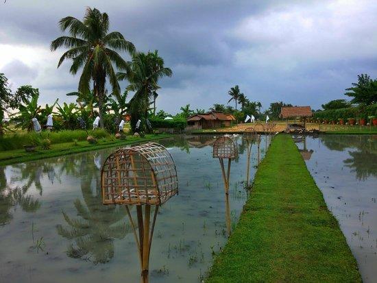 Sardine: Rice field view
