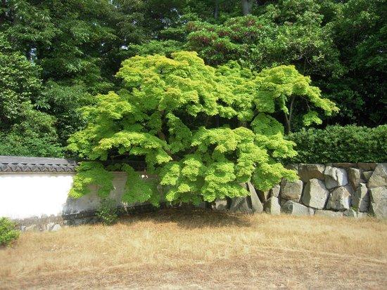 Yashimaji Temple: お寺の塀際の美しい木