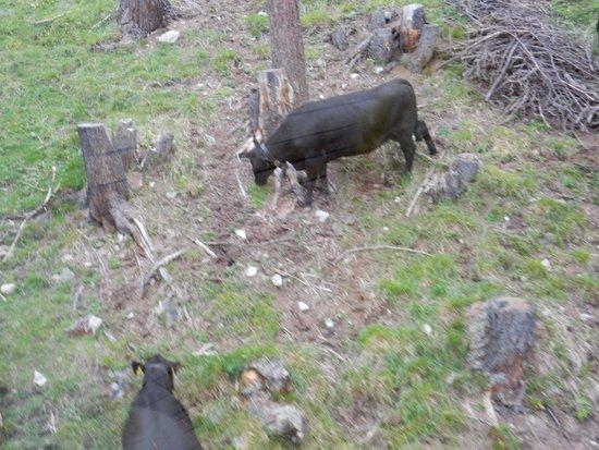 Muottas Muragl : ケーブルカーから牛が放牧されているのが見えました。