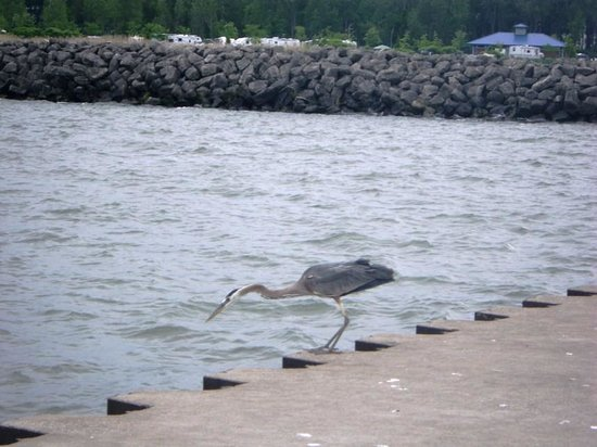 Wildlife picture of presque isle state park erie for Plenty of fish erie pa