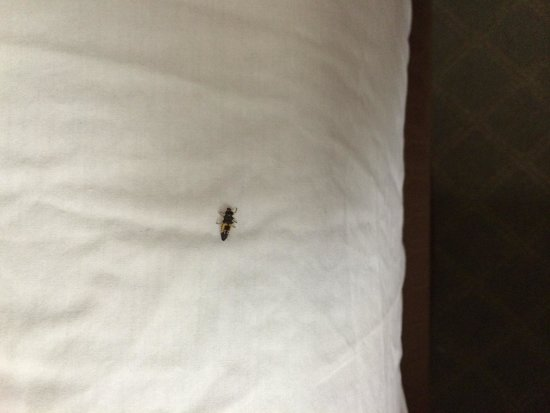 Best Western Plus - Island Inn: One of the bugs in our bed.