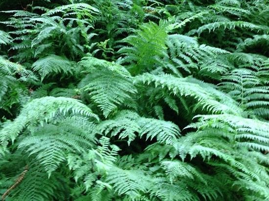 Forest Park: beautiful ferns