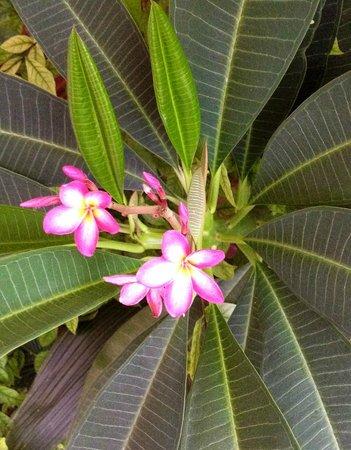 Dacha Restaurant : Frangipani flowers at the Dacha Terrace