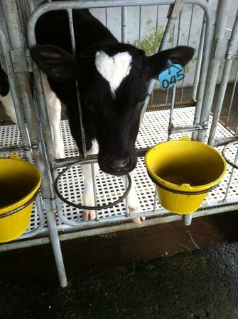 Desa Dairy Farm: the cow with a heart on her head
