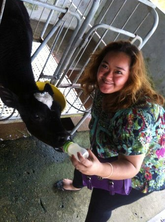 Desa Dairy Farm : giving milk to the cows...=)