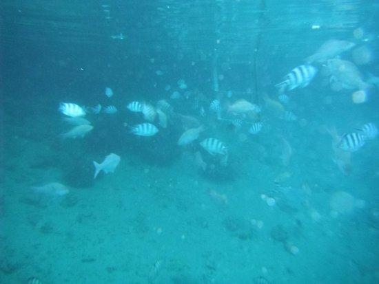 InterContinental Moorea Resort & Spa: swiming with fish in the lagoon.