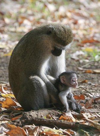 Rivertrees Country Inn: Mother and baby vervet monkeys