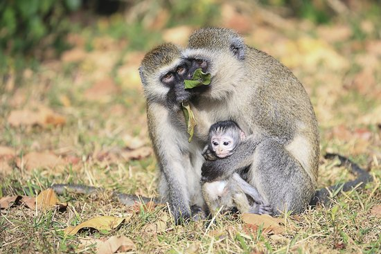 Rivertrees Country Inn: Vervet monkey family