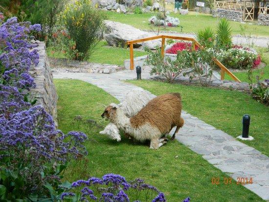 Casa Andina Private Collection Valle Sagrado: Llamas again