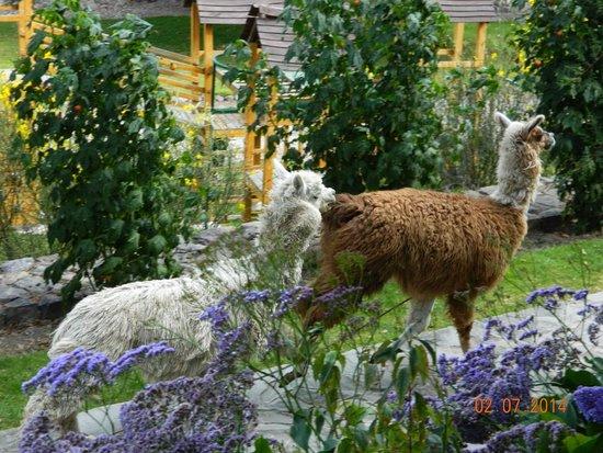 Casa Andina Premium Valle Sagrado Hotel & Villas: Llamas