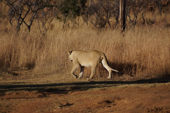 Makweti Safari Lodge: things to do.... lioness on the prowl