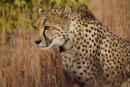 Makweti Safari Lodge: Cheetah mom with 2 cubs