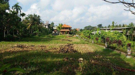 Gayatri Bungalows: rice field next door