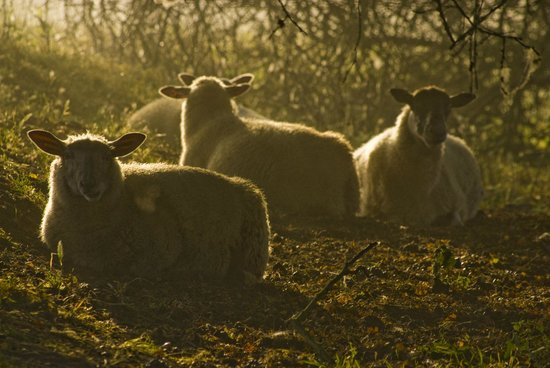 The Old Stables B&B: Sheep at the end of The Walk