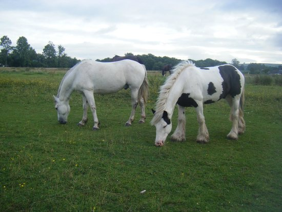 Lakeside Caravan and Camping Park: Horses grazing on :Llangorse Common