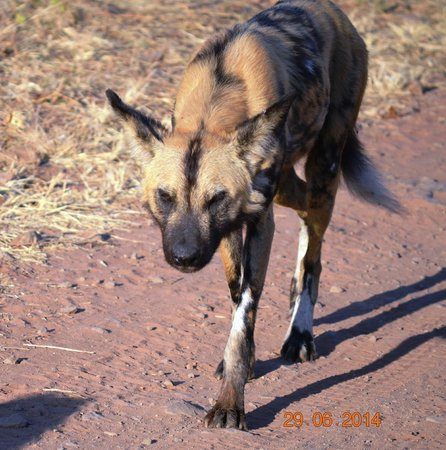 andBeyond Chobe Under Canvas : Wild Dogs