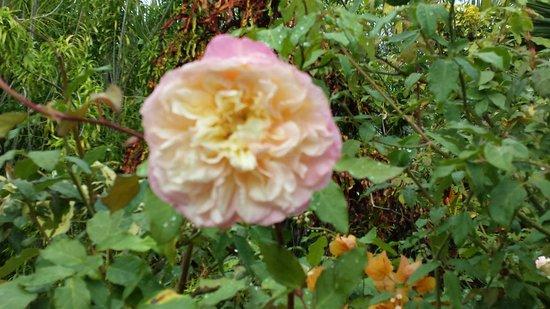Domaine Du Cafe Grille : Rose bourbon