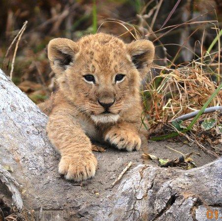andBeyond Nxabega Okavango Tented Camp : 2 month old cub