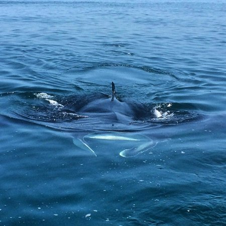 Holbox Hotel Mawimbi : Manta on the whale shark tour