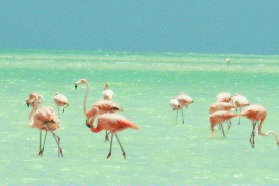 Holbox Hotel Mawimbi: Flamingos!