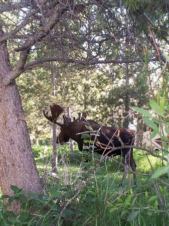 Elk Creek Campground and RV Park: This moose was 15 feet from our camper.