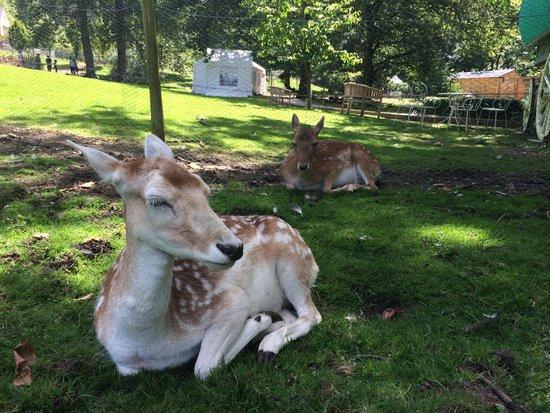 Prinknash Bird And Deer Park: the beautiful deer taking a break from the sun