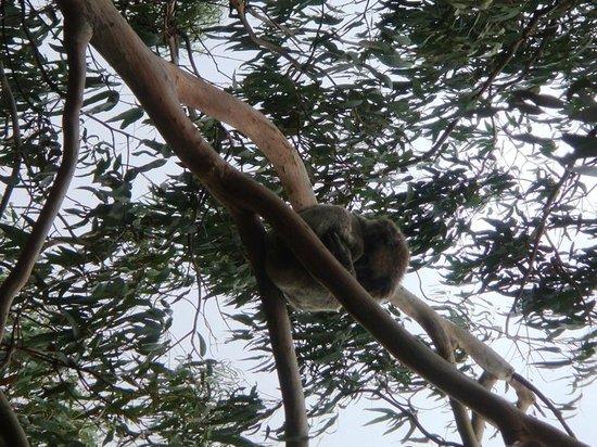 Phillip Island Nature Parks - Koala Conservation Centre : Sleeping Koala 1