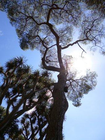 Gibraltar Botanic Gardens (The Alameda): Great Alameda Tree