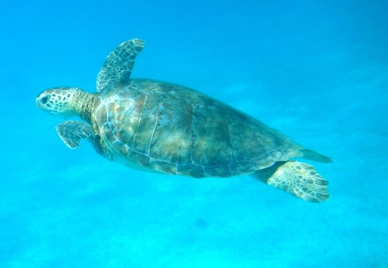 Tobago Cays: Didnt have to try hard to see turtles!
