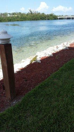 Hyatt Residence Club Key West, Beach House: Iguana at rear of the property.