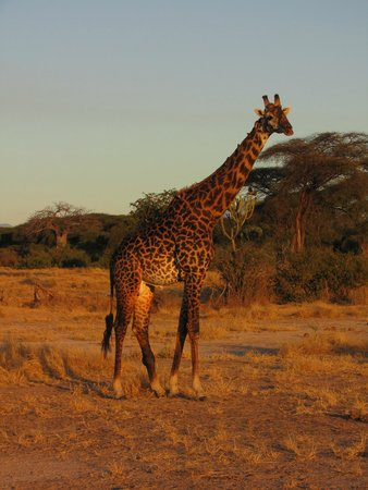 Ruaha National Park: Giraffe