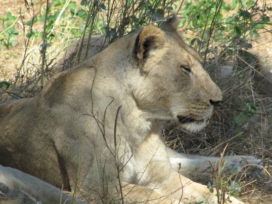 Ruaha National Park: Lion