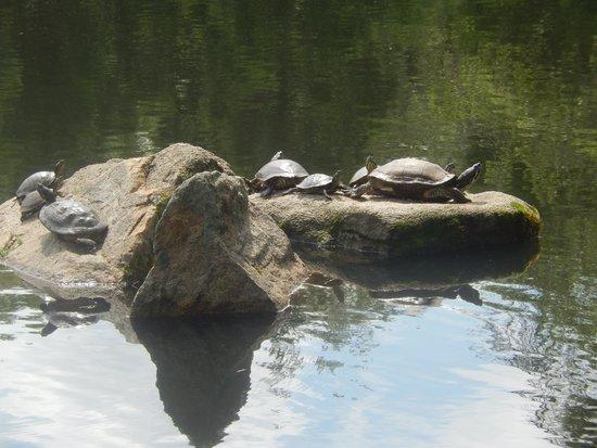Maymont : Turtles sunbathing