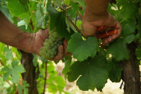 Antugnac, Prancis: Vendanges manuelles - Domaine Delmas