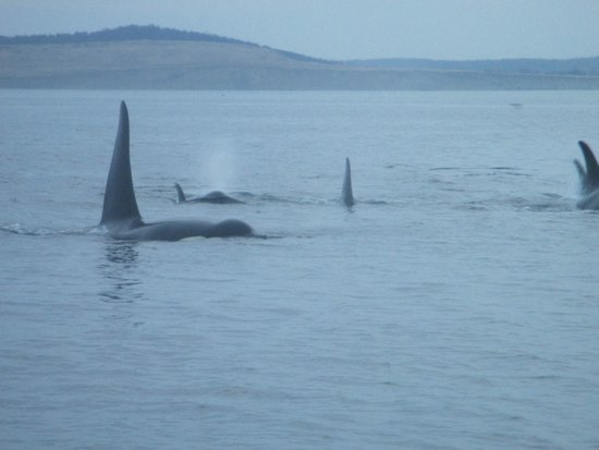Eagle Wing Whale Watching Tours: Here comes a pod of whales right for us... amazing experience!!