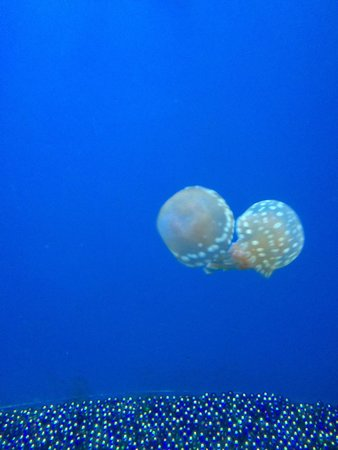 Mote Marine Laboratory and Aquarium : Jelly fish