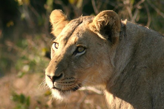 Sabi Sabi Earth Lodge: Lioness