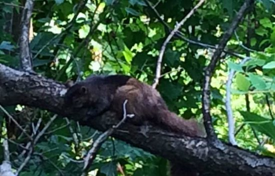 Edwards Gardens : What type of squirrel is this? It looked half mink, half squirrel