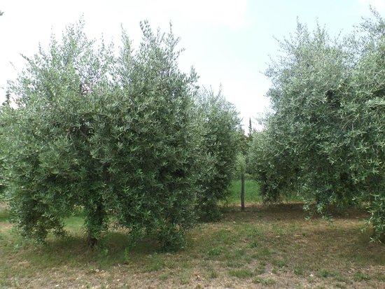 Tenuta Casanova : Olives Trees