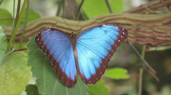 The North Somerset Butterfly House: morpho butterfly