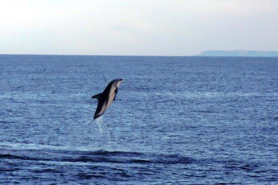 Dolphin Encounter: Dusky dolphin jumping