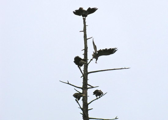 Ketchikan Taxi Cab Tours: Eagles drying out in a tree
