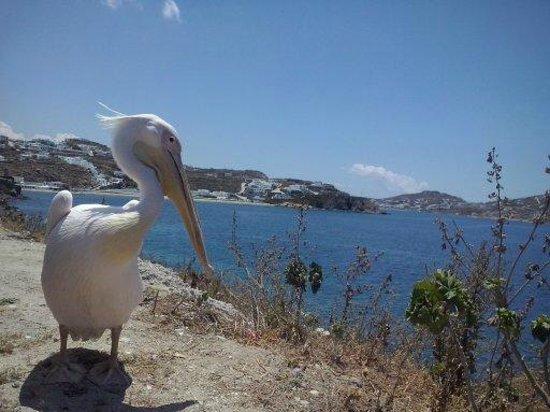 Mykonos Ammos Hotel: Vista do pelicano em Chora